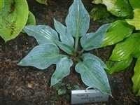 Hosta Purple Verticulated Elf